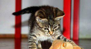 Gattino che gioca (Foto Pixabay)