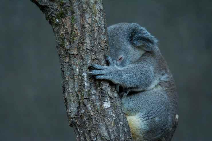 Koala sull'albero (Foto Pixabay)