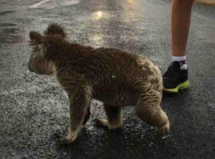 Il koala in movimento (Foto di dominio pubblico)