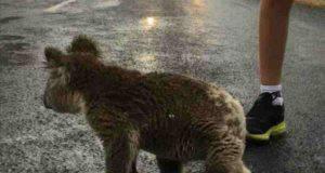 Il koala attraversa la strada (Foto di dominio pubblico)