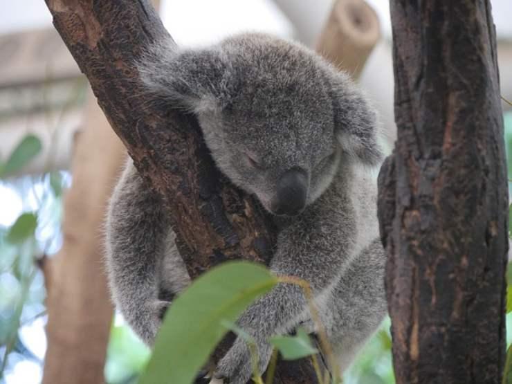 animali australiani