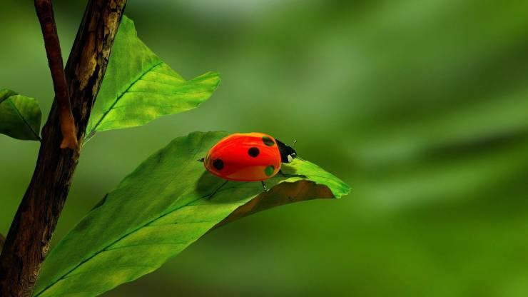 Coccinella (Foto Pixabay)