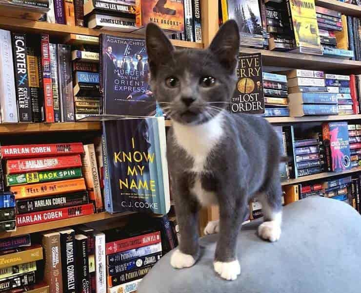 Gatti libreria