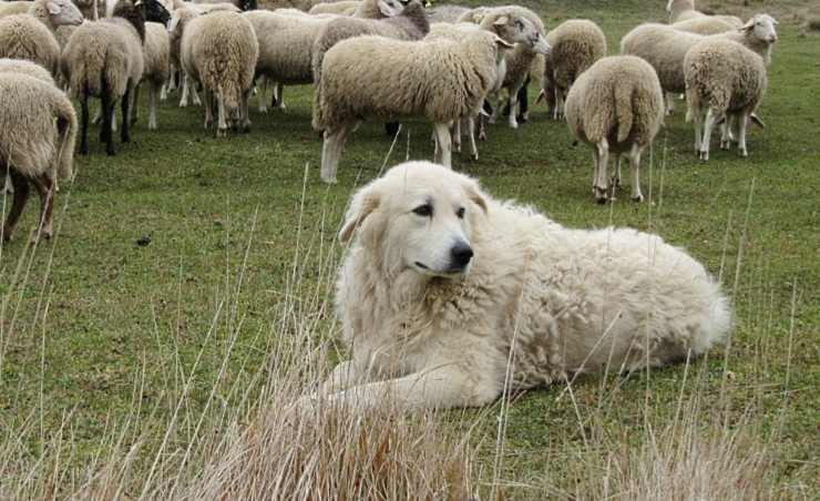spara cane pecore
