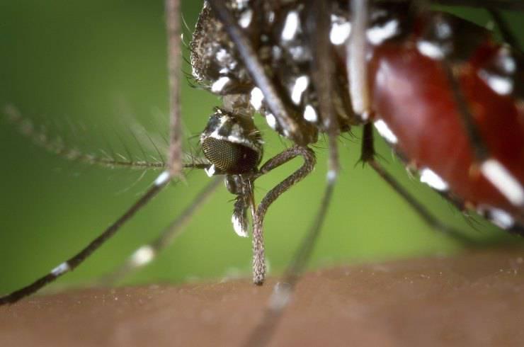 Zanzara femmina