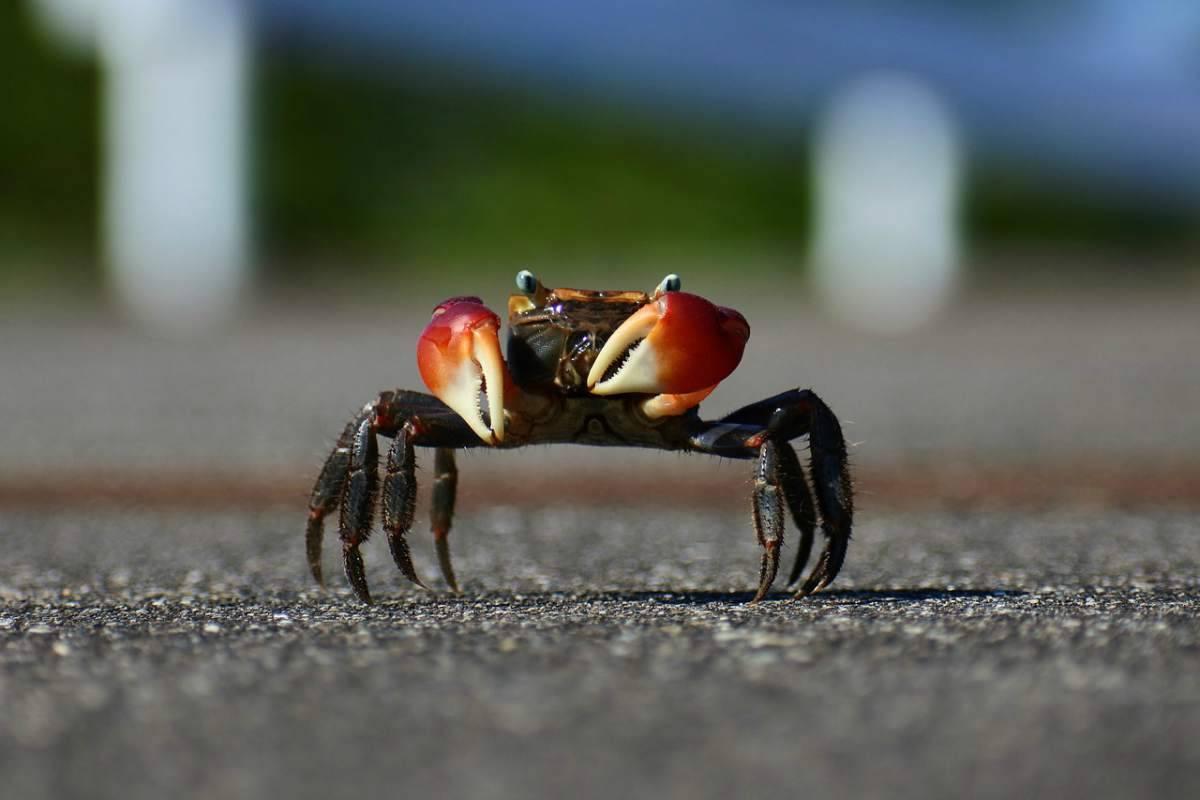 Granchio che cammina (Foto Pixabay)
