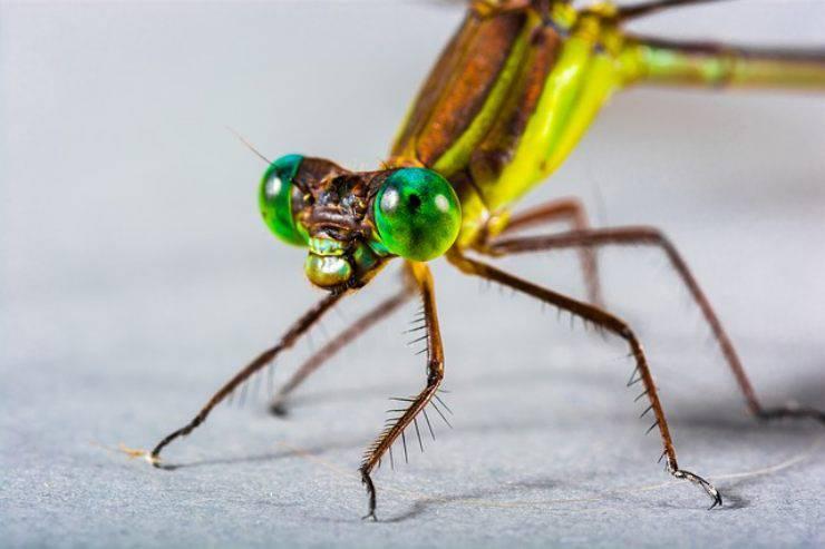 occhi della libellula