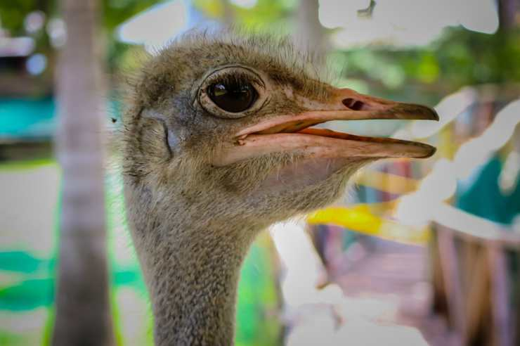 Struzzo curioso (Foto Pixabay)