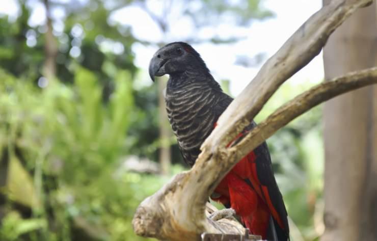 pappagallo dracula