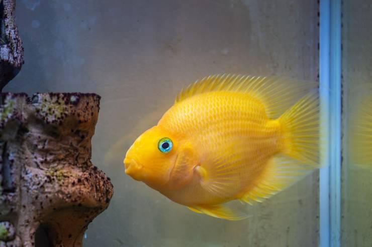 pesce pappagallo d'allevamento