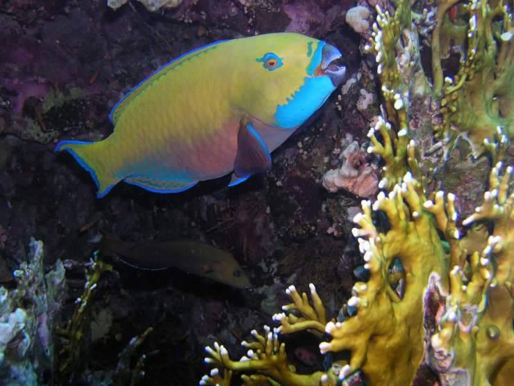 pesce pappagallo selvatico