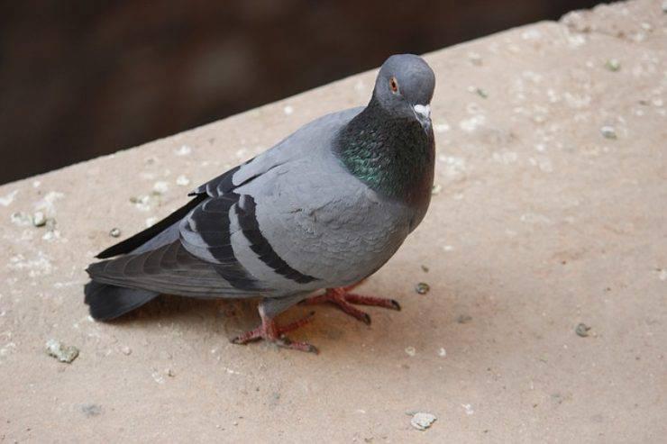 piccione cacca