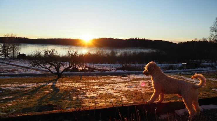 Cane barboncino che osserva il tramonto (Foto Pixabay)