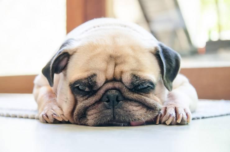 rabbia nel cane