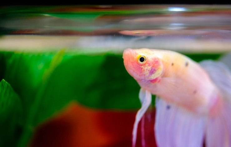 salute dei pesci nell'acquario