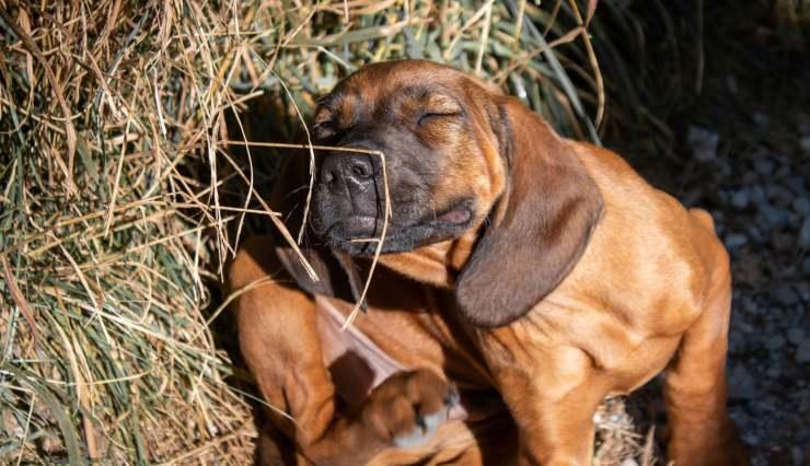 cane prurito