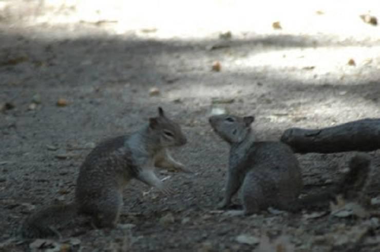 scoiattolo grigio ricette