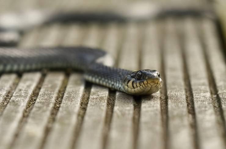serpente striscia
