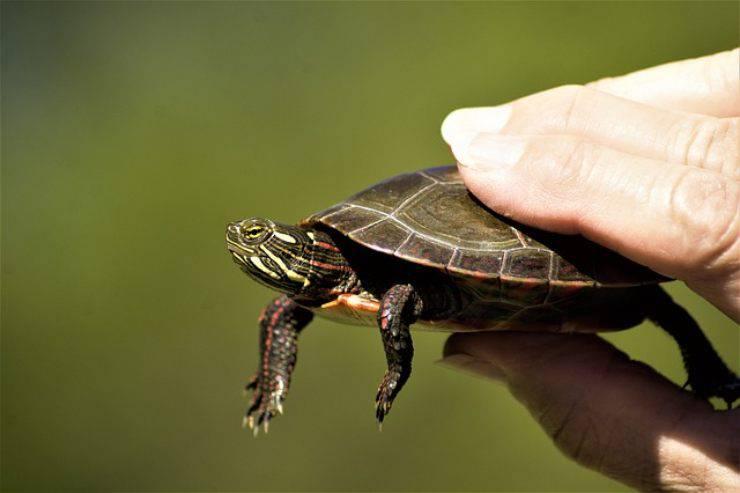 malattie post letargo della tartaruga