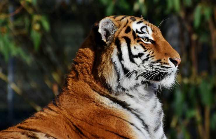 I tratti distintivi della tigre (Foto Pixabay)
