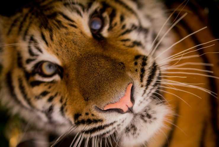 Occhi della tigre in primo piano (Foto Pixabay)