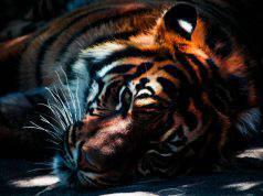 Tigre triste (Foto Pixabay)