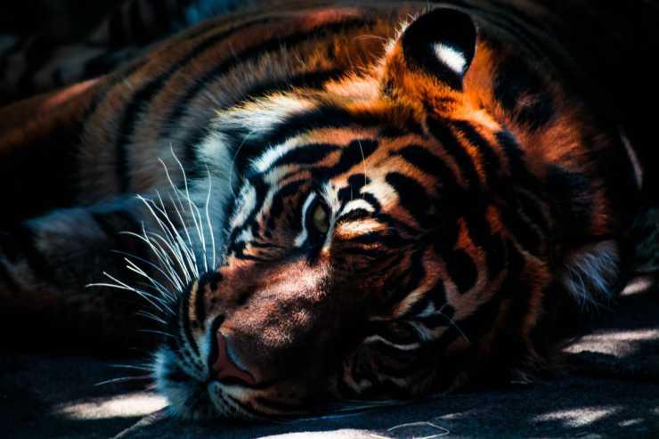 Tigre addolorata (Foto Pixabay)