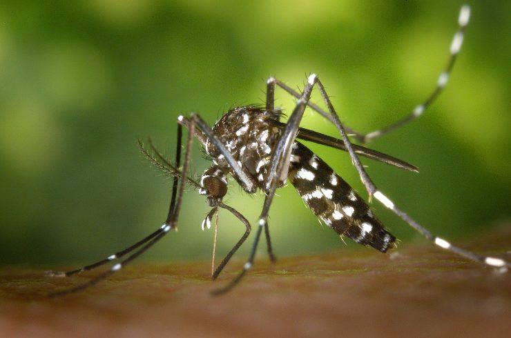 zanzara tigre zoonosi