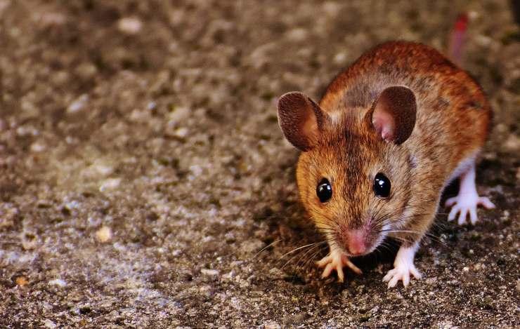 malattie trasmesse dai topi all'uomo