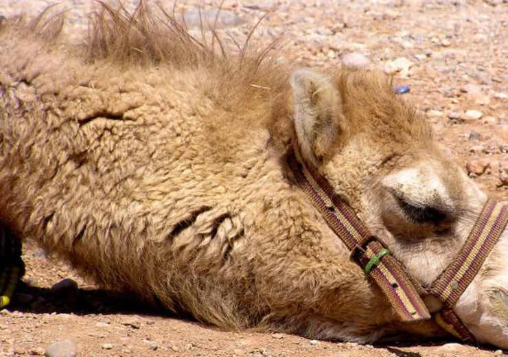 cammelli australia abbattuti