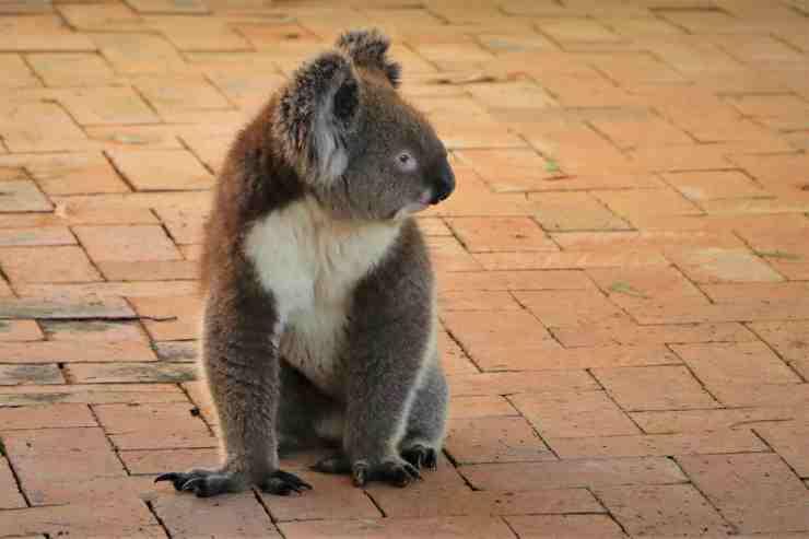 Il koala in cerca di aiuto (Foto Pixabay)