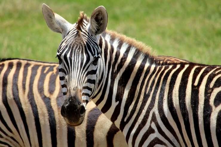 zebra a strisce