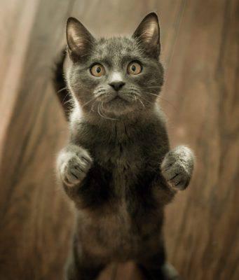 gatto gioca con laser
