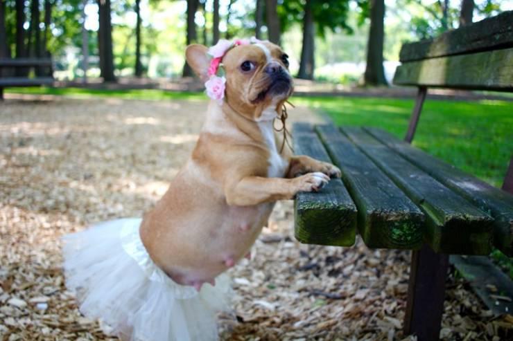 cane incinta foto