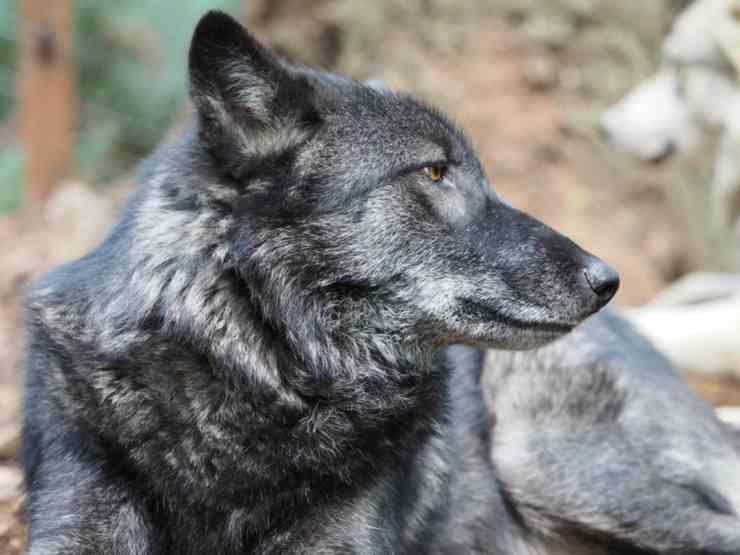 Il lupo nero (Foto Facebook)