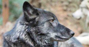 Il lupo del rifugio (Foto Facebook)