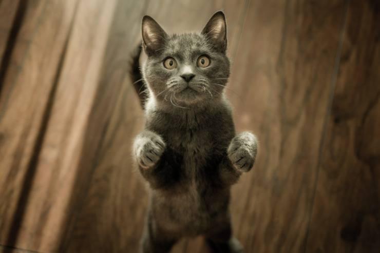 gatto acchiappa laser