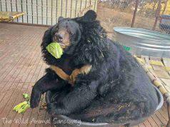 L'orso che mangia verdura (Foto Facebook)