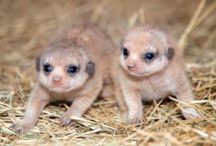 Due teneri suricati (Foto Facebook)