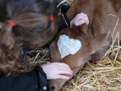 Bambina e il vitellino (Foto Facebook)