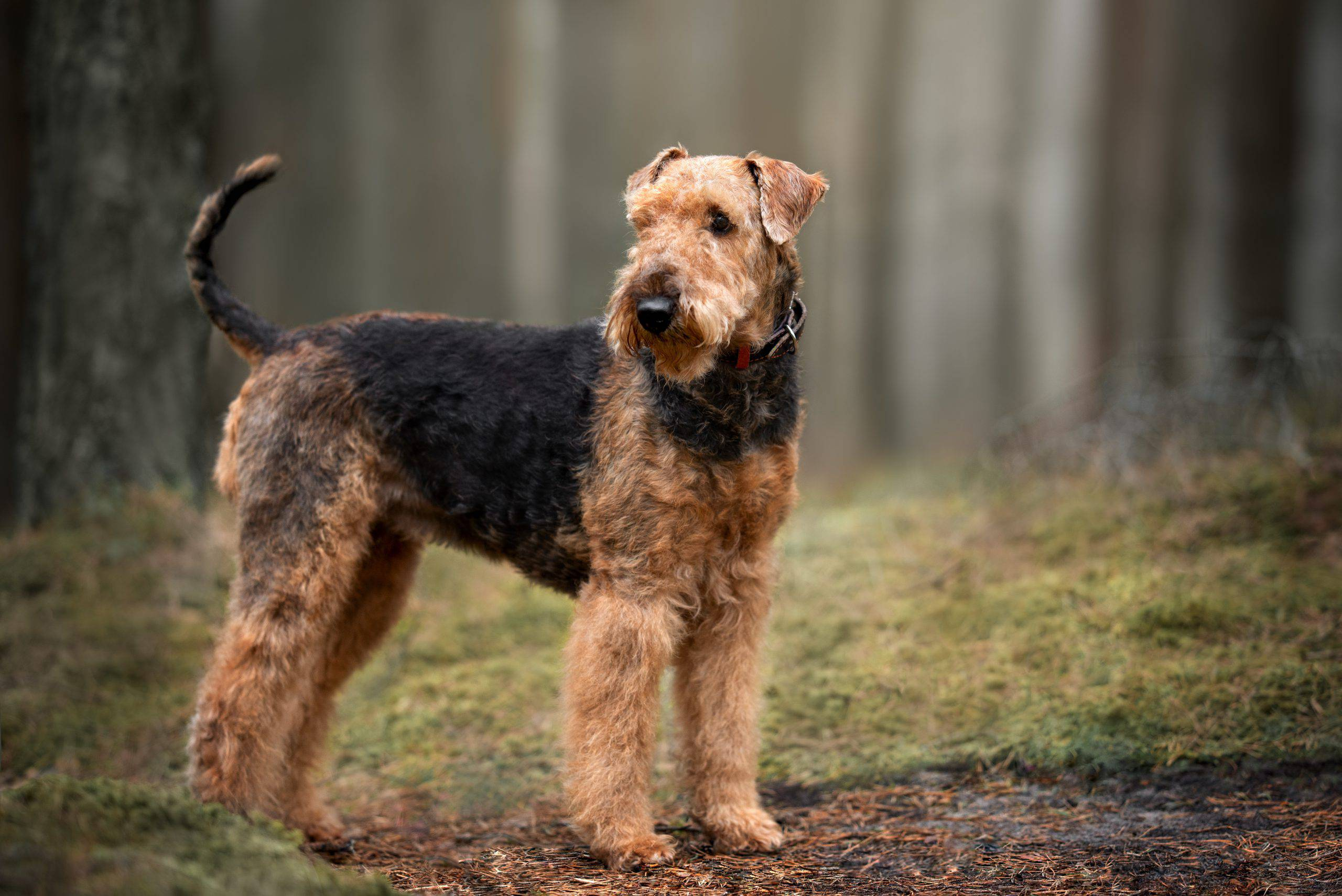 airedale terrier adulto