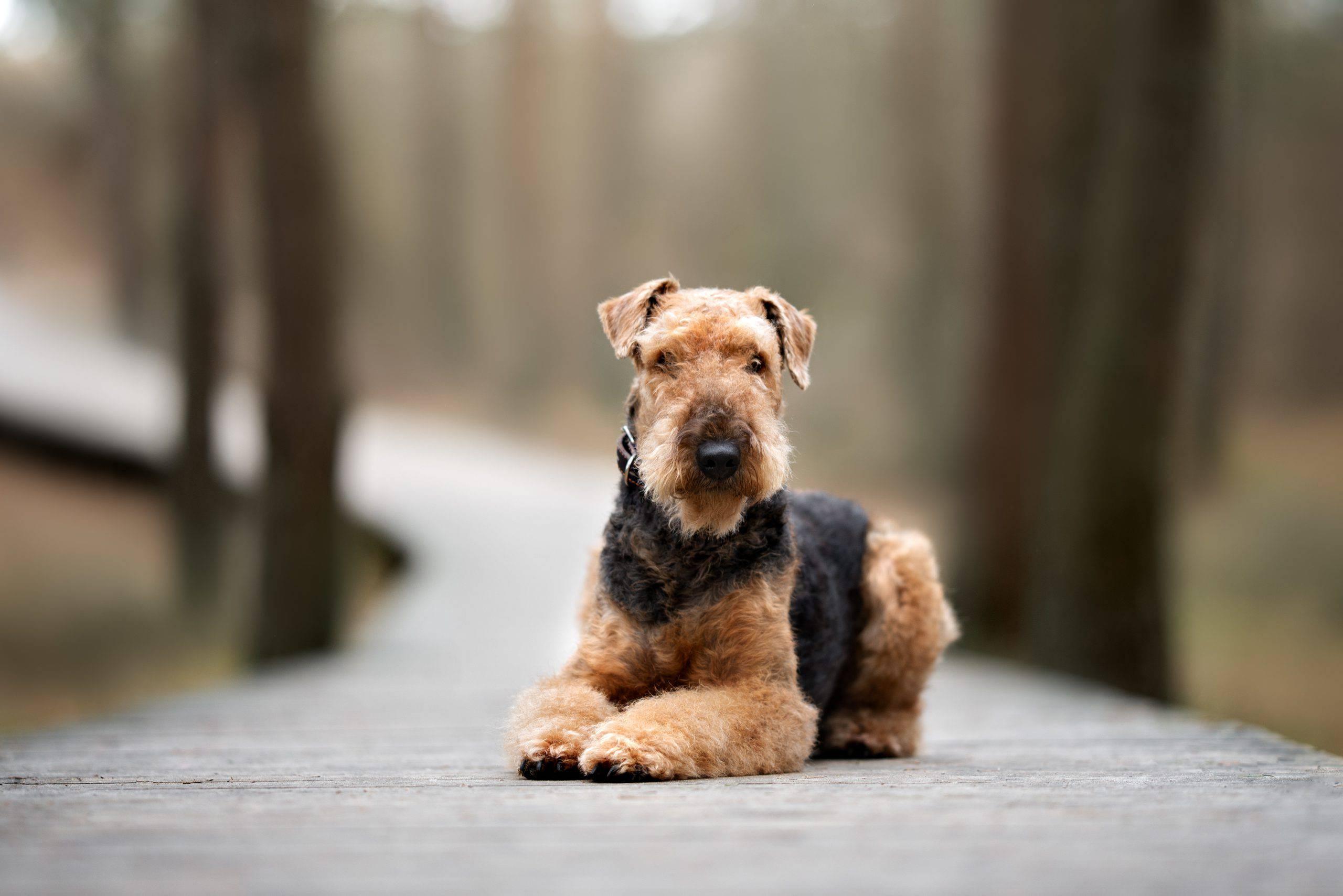 Airedale terrier cucciolo