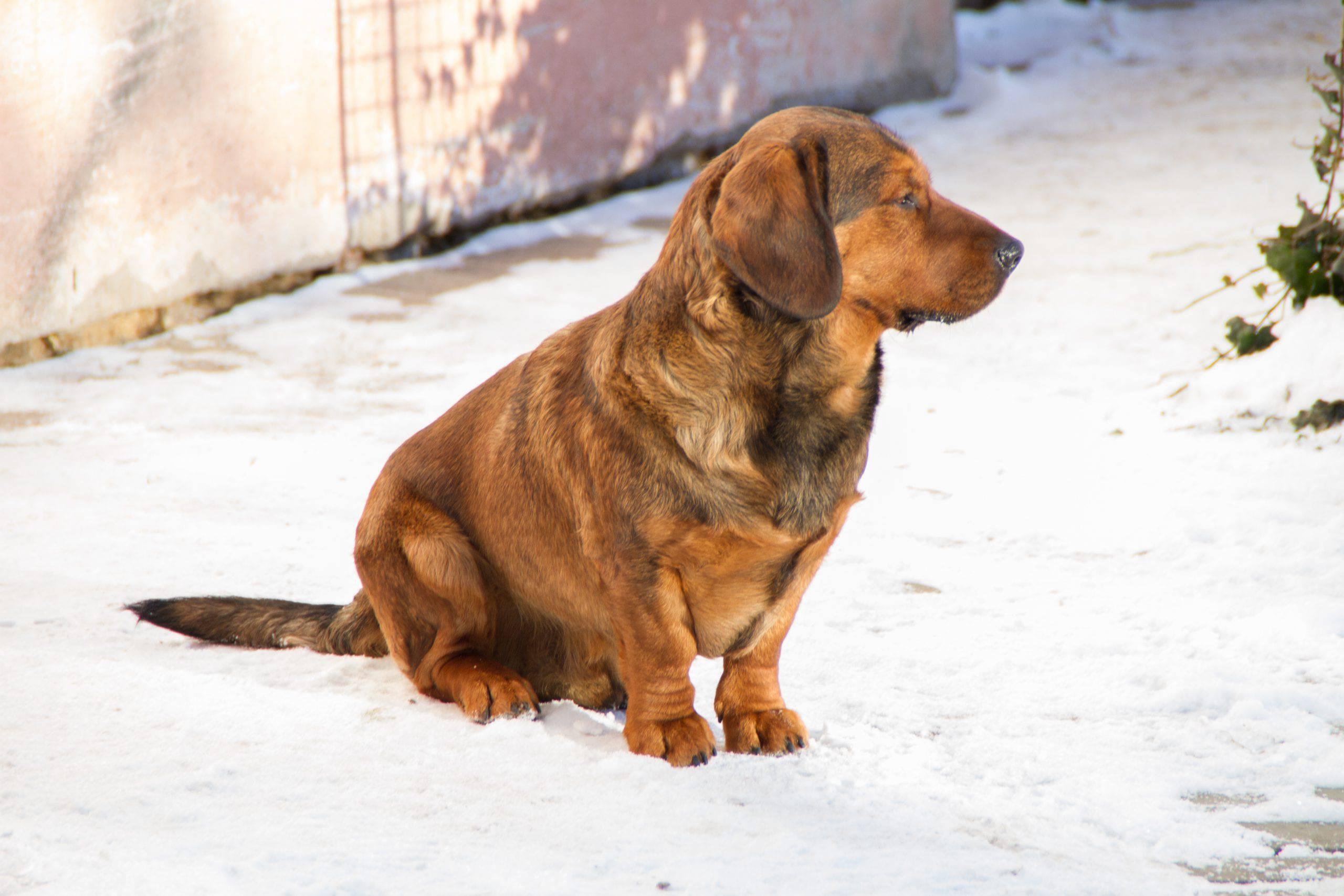 Alpenlaendische dachsbracke cucciolo