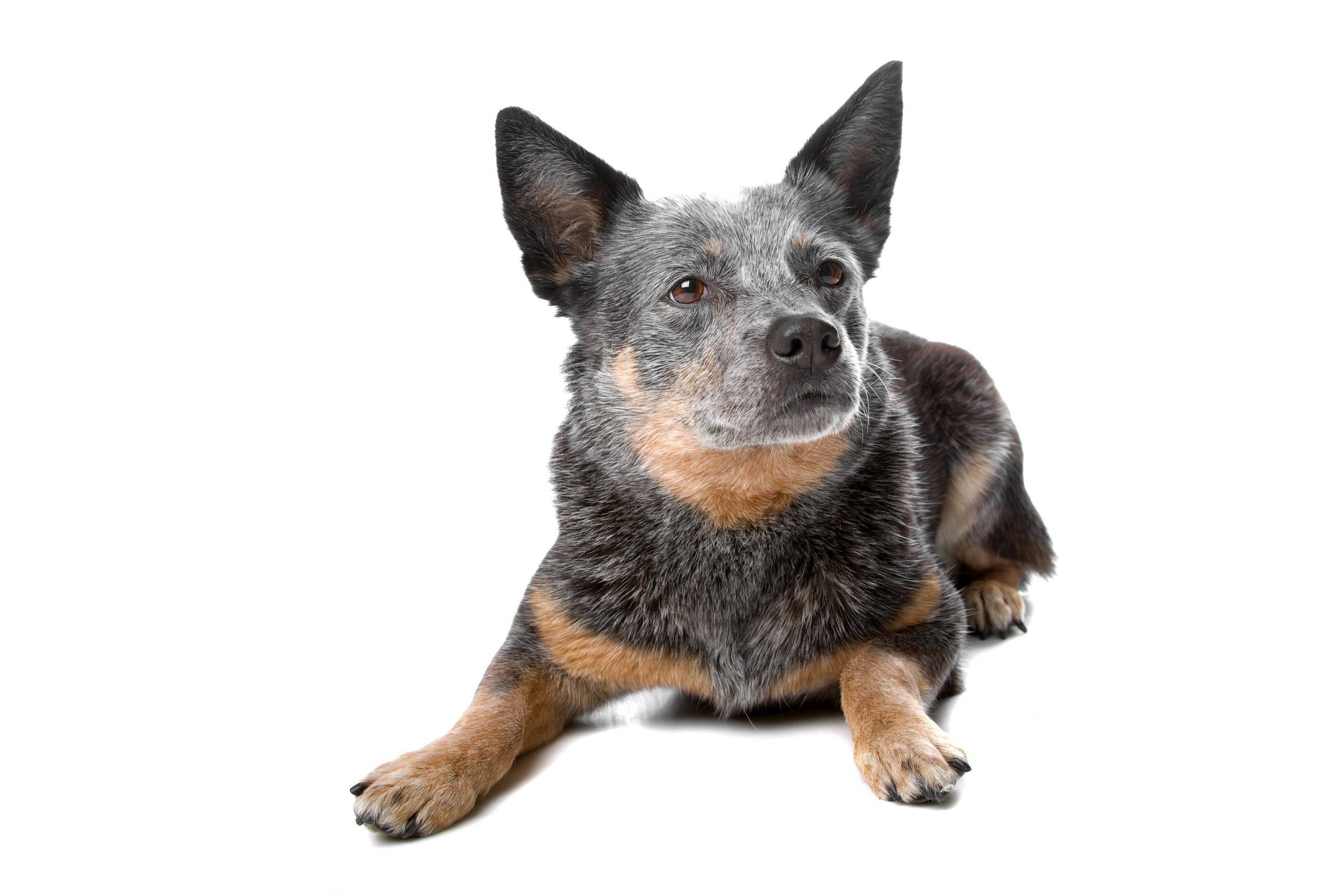 Austalian Cattledog cucciolo