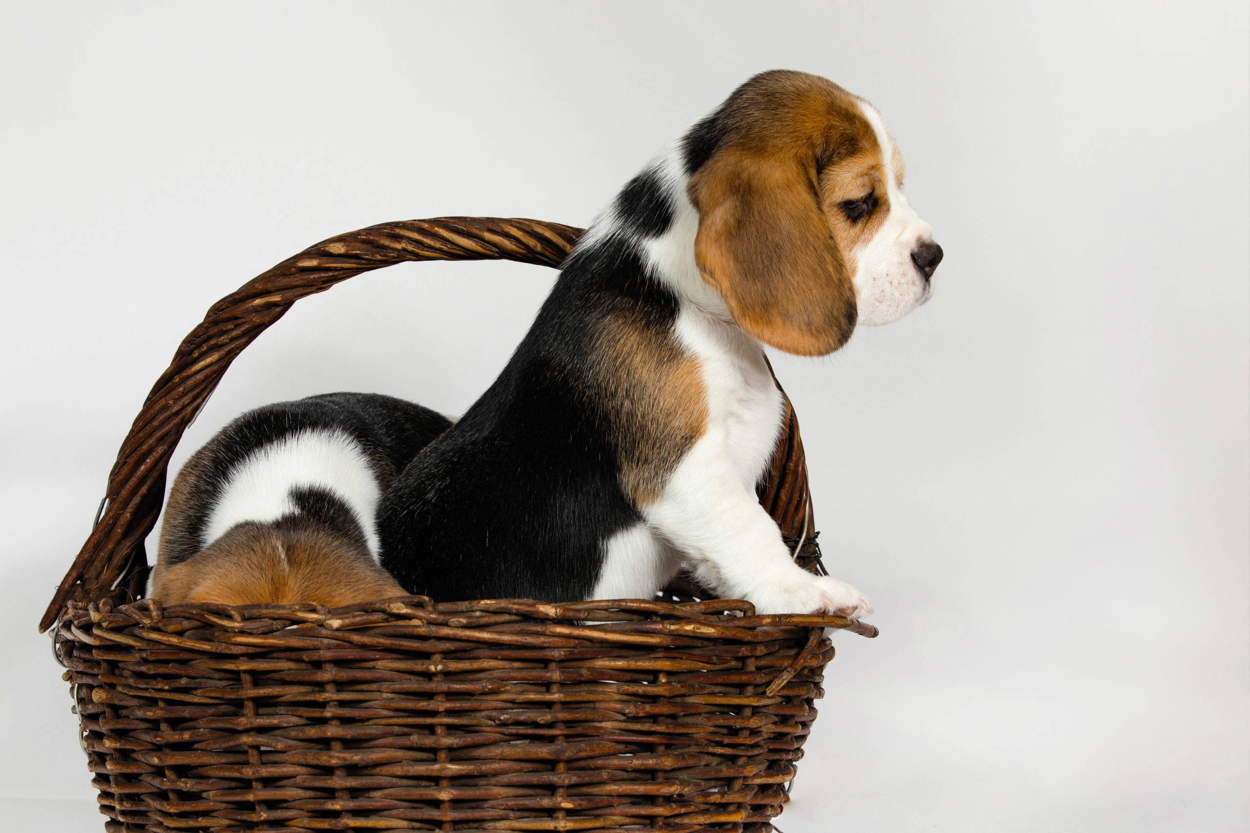 Basset Artésien Normand cucciolo
