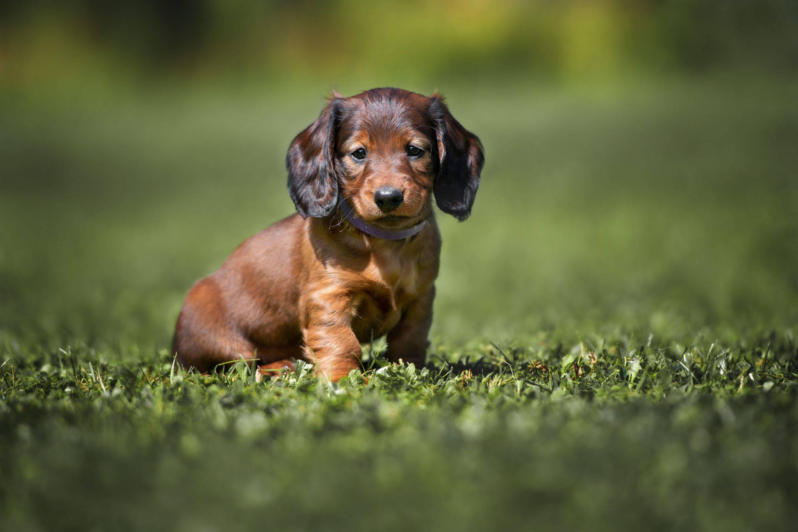 Bassotto cucciolo