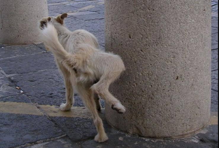 cane urina per strada