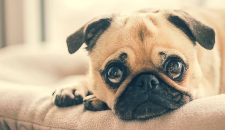 cane cucciolo triste