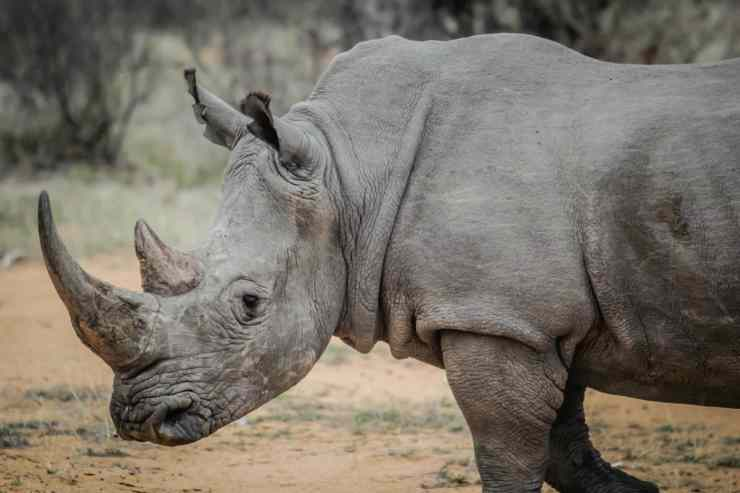 Un esemplare di rinoceronte (Foto Pixabay)