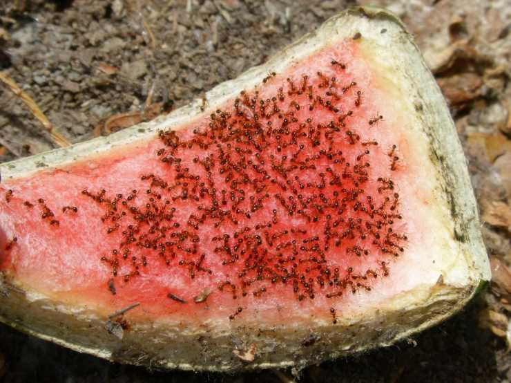 Invasione di formiche